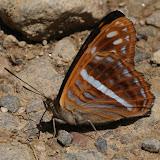Limenitidinae : Adelpha alala HEWITSON, 1847 (?), verso. Route de Manu (Madre de Dios), Pantiacolla Lodge, 11 décembre 2008. Photo : Benoit Nabholz