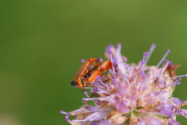Cantharidae : Rhagonycha fulva (SCOPOLI, 1763). Hautes-Lisières (Rouvres, 28), 8 juillet 2012. Photo : J.-M. Gayman