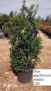 illex aquifolium alaska C30