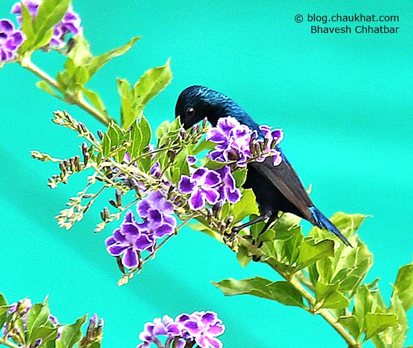Male Purple Sunbird [Cinnyris asiaticus] busy drinking nectar from tiny flowers