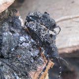 Accouplement de Cerambycidae : Lamiinae : Moechotypa diphysis PASCOE, 1871. Anisimovka (Primorskij Kraj, Oussouri), 28 juin 2011. Photo : G. Charet