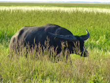 This young bull has good potential as a trophy. He is also massive in body size.