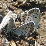 Plebejus subsolanus EVERSMANN, 1851 (= Lycaeides  idas L., 1761). Aurovka, au sud d'Anutchino (Primorskij Kraj, Russie), 1er juillet 2011. Photo : G. Charet