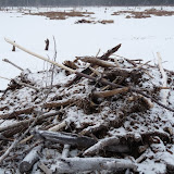 Beaver lodge in winter