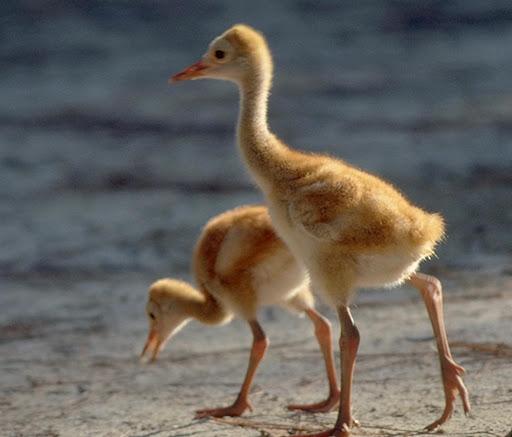 Sandhill chicks. From the International Crane Foundation