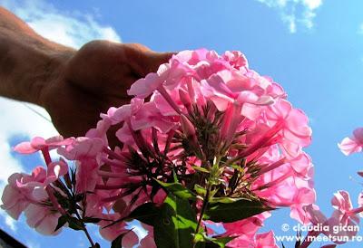 flori roz in gradina mamei