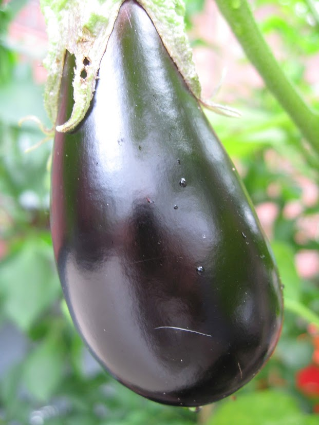 "Pictured is a standard eggplant which we do not recommend for Pasta alla Norma or Pasta with Eggplant, Tomato Sauce, and Ricotta; rather try the ""Japanese"" or ""Sicilian"" variety."