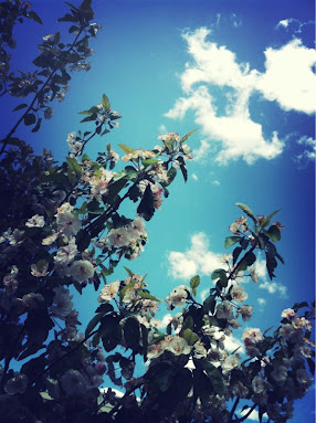 Gorgeous day; Gorgeous blossoms.  by me