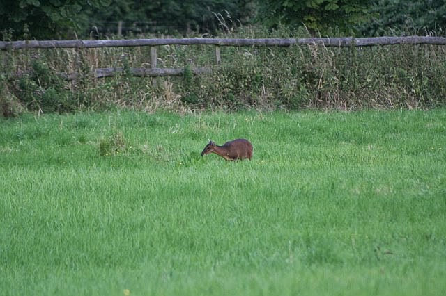 Woodhurst Wildlife Muntjac In The Grassfield - muntjac01.jpg