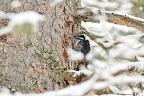 BELLE RENCONTRE !   Le pic tridactyle est l'un des oiseaux les plus rares du pays !