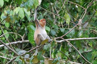 "Photo: A Proboscis monkey (female) in the ""wild"" on the river"