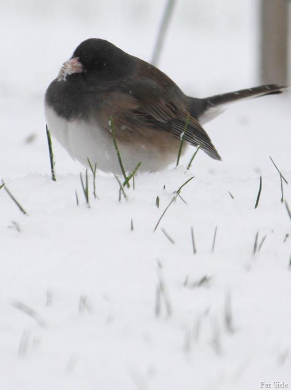 [Fat+bird+in+the+snow%5B9%5D]