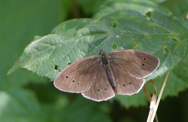 Aphantopus hyperantus L., 1758, mâle. Les Hautes-Lisières (Rouvres, 28), 30 juin 2011. Photo : J.-M. Gayman
