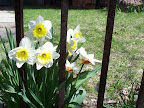 Fence and daffodils