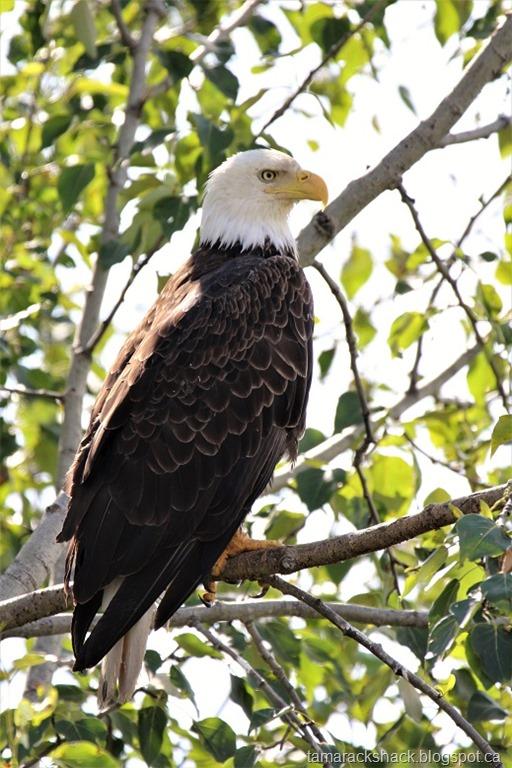 [eagle33%5B7%5D]