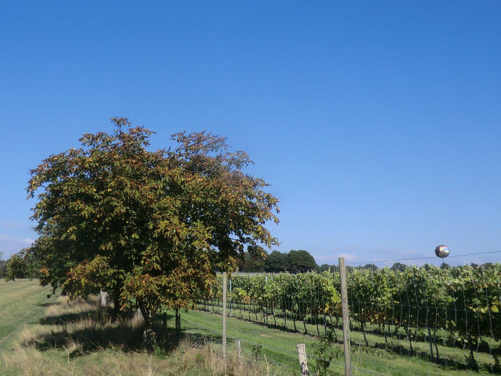 CIMG0652 Bluebell Vineyard
