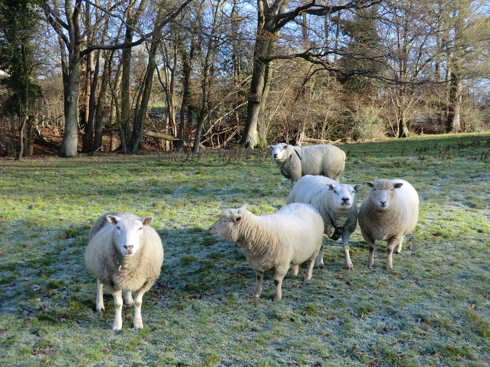 CIMG5020 Inquisitive sheep at Ockhams