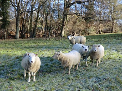 CIMG5020 Inquisitive sheep at Ockhams
