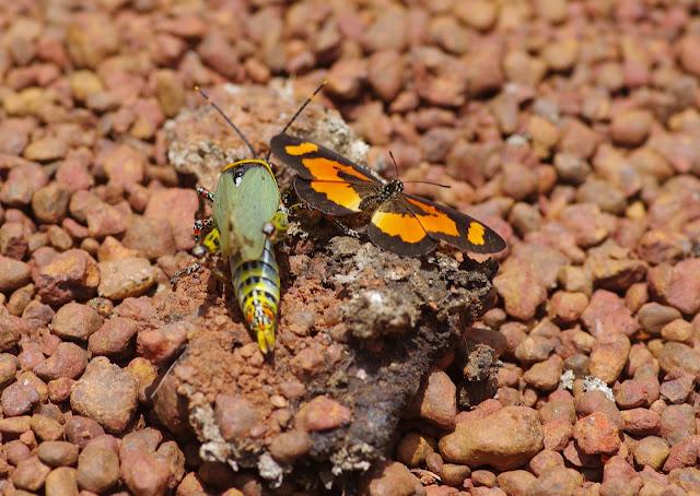 Acraea bonasia FABRICIUS, 1775, mâle, et Zonocerus variegatus LINNAEUS, 1758. Piste d'Ebogo, Cameroun, 8 avril 2012. Photo : J.-M. Gayman