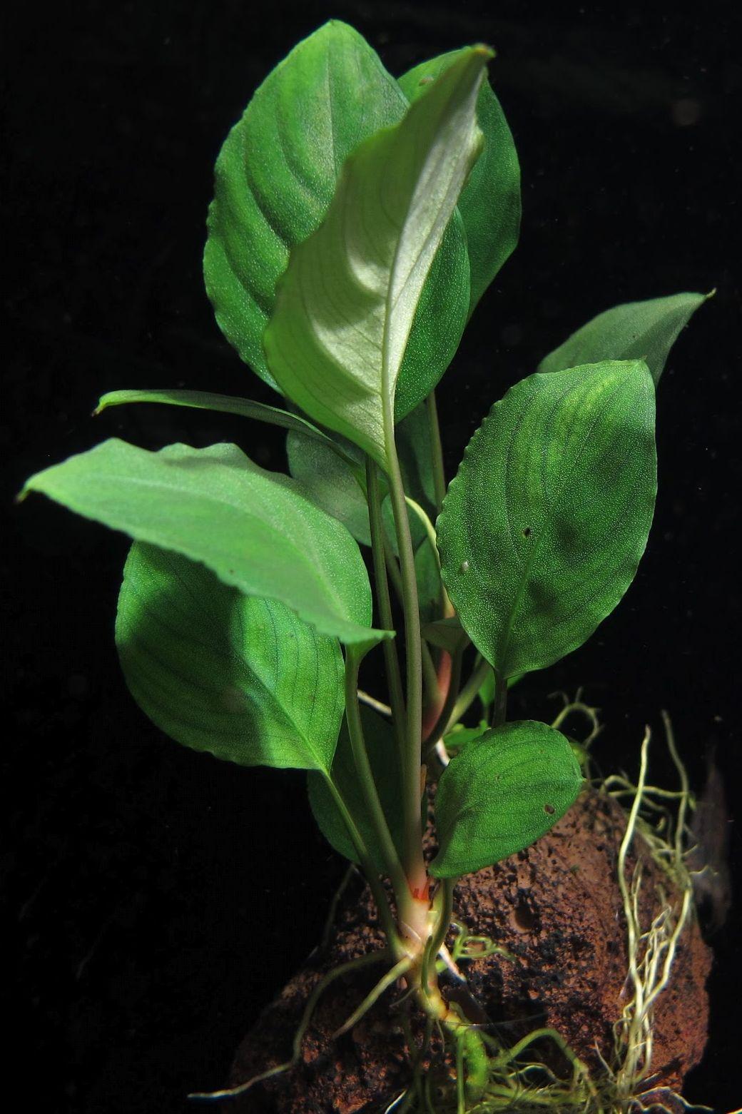 Пиптоспата мандуйская (Piptospatha manduensis)