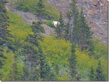 Mountain Goat, Klondike Highway near Fraser