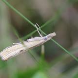 Crambidae : Crambinae : Agriphila inquinatella ([DENIS & SCHIFFERMÜLLER], 1775). Les Hautes-Lisières (Rouvres, 28), 23 août 2012. Photo : J.-M. Gayman