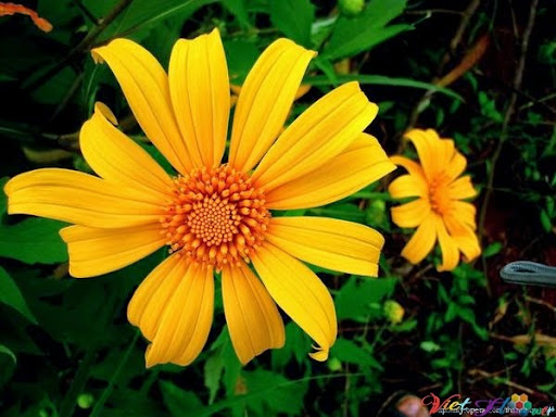 Hoa dã quỳ giúp trị mụn, Tái tạo tế bào, giúp da trẻ và sáng