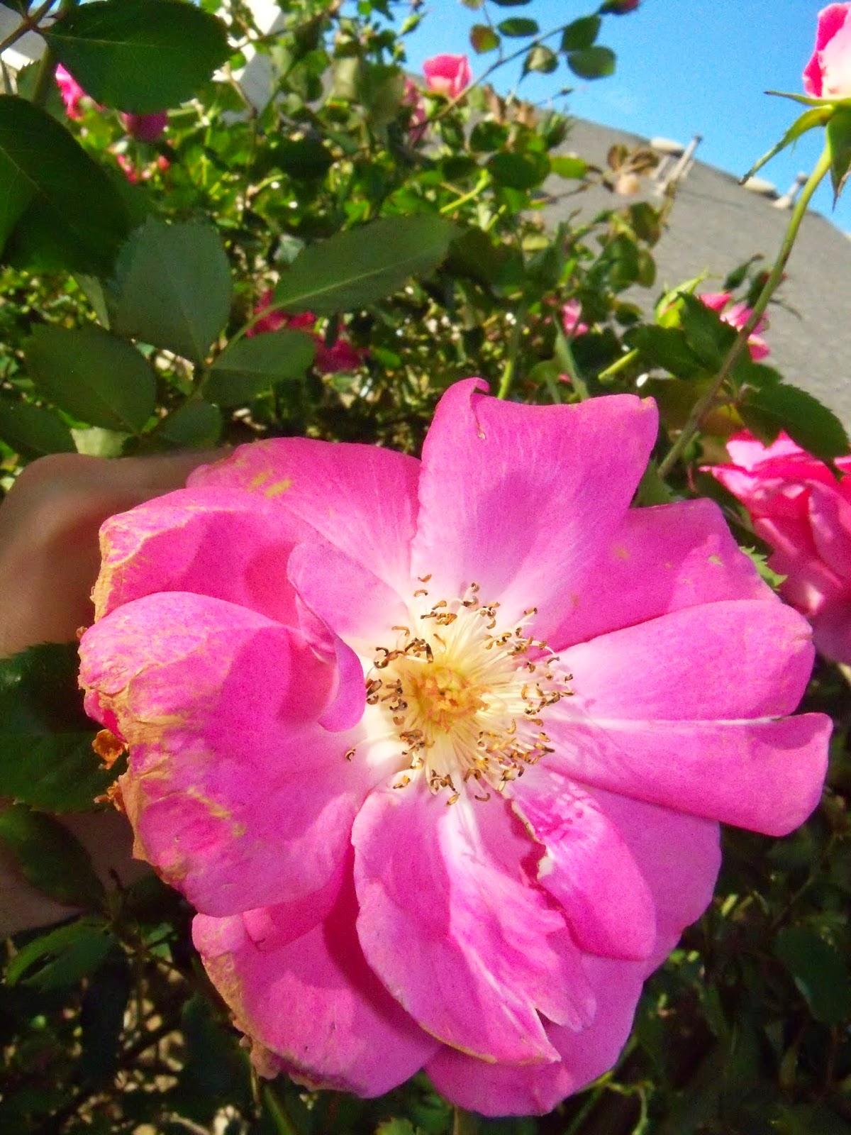 Gardening 2015 - 116_7639.JPG