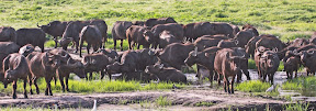 Cape Buffalo Herd, Zimbabwe