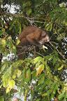 Monkey Munching in The Cloud Forest (Manu National Park, Peru)