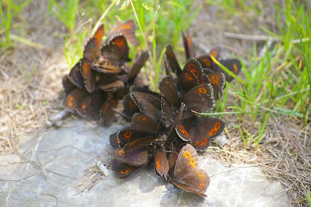Rassemblement de plusieurs espèces d'Erebia. Super Sauze (1700 m), 13 juillet 2010. Photo : J.-M. Gayman