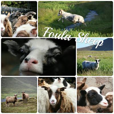 Schafe Foula