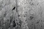 NOIR SUR BLANC   Corneille noire dans le givre hivernal