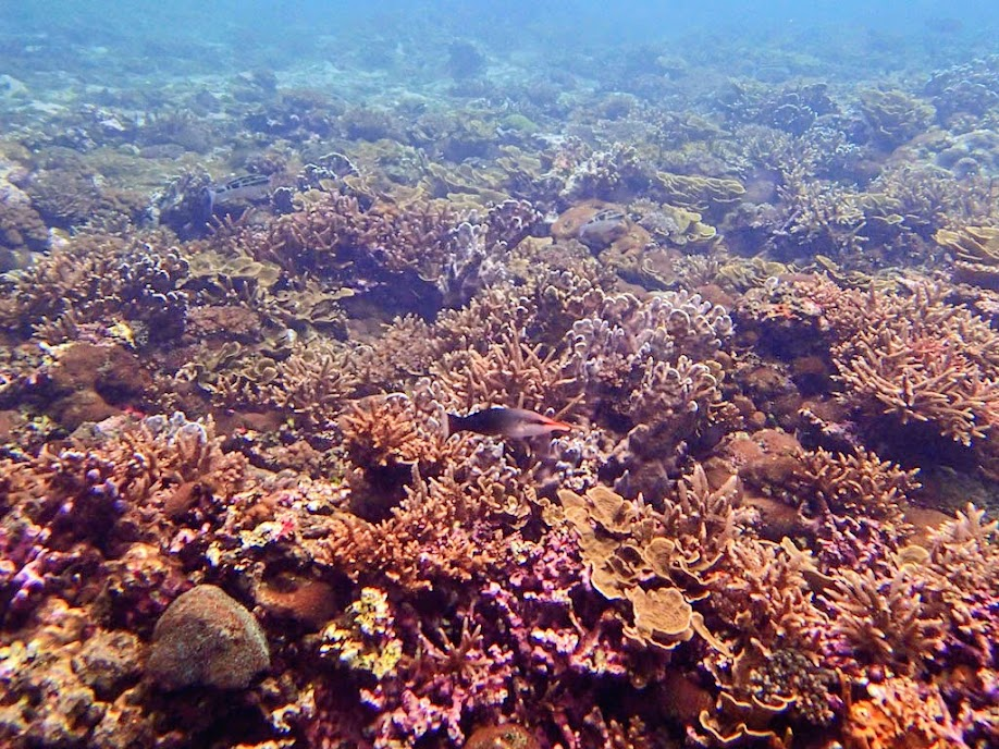 Gomphosus varius (Bird Wrasse), Small Lagoon, Miniloc Island, Palawan, Philippines.