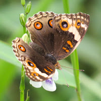 Blue Pansy (Junonia orithya wallacei) - female