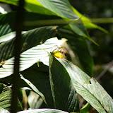 Cepora judith montana FRUHSTORFER, mâle. Gomantong, 14 août 2011. Photo : J.-M. Gayman