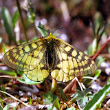 Parnassius (Driopa) eversmanni magadana WEISS, 1971.  Gusakova pass, Magadan, Russie. Photo : Pavel Gorbunov