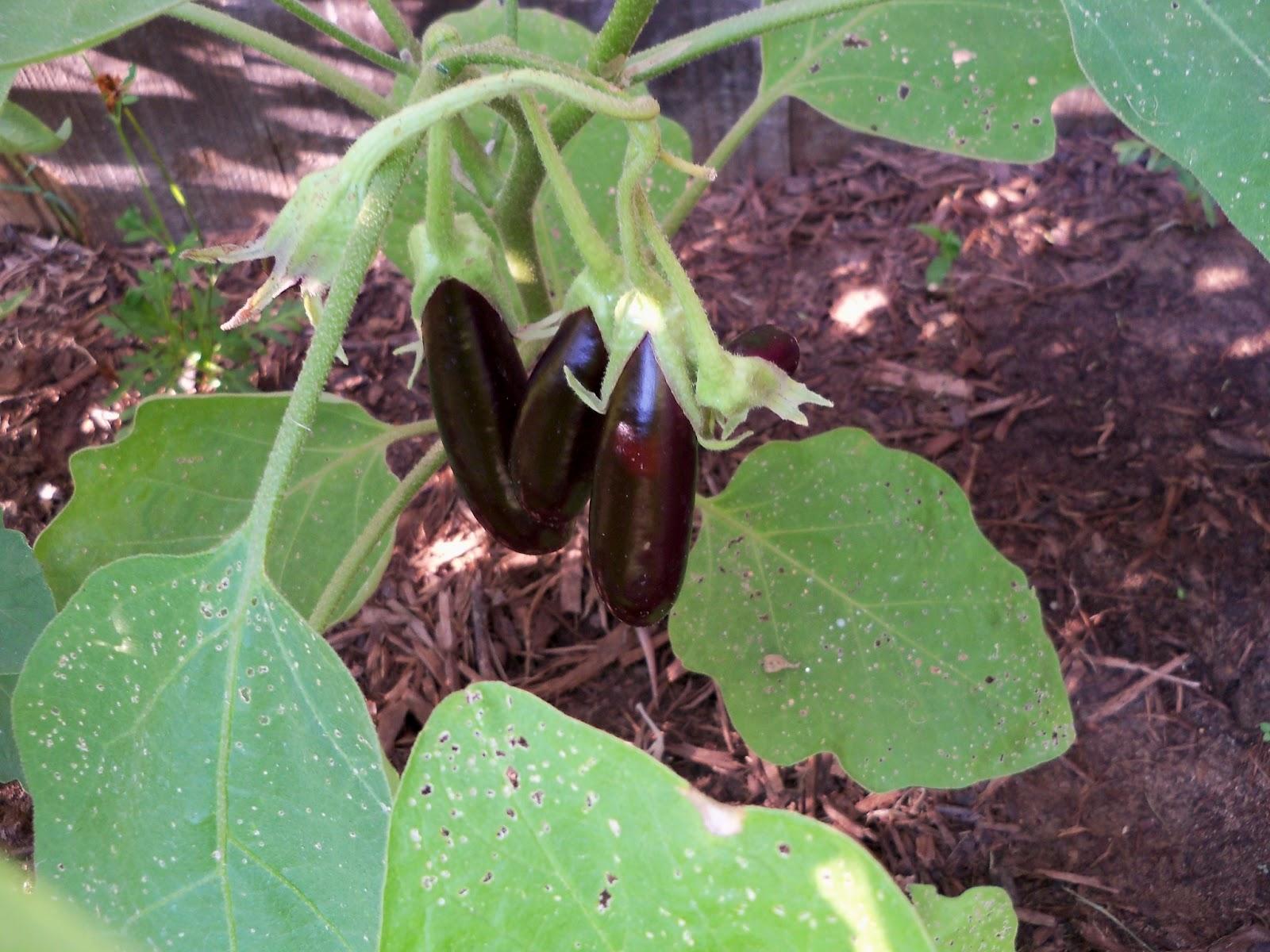 Gardening 2011 - 100_9205.JPG