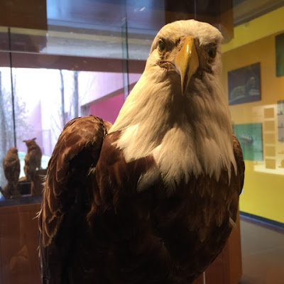Bald Eagle in Critter Kingdom at Fort Worth Museum of Science and History