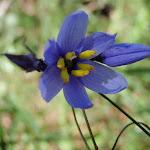 Dianella Flower (189996)