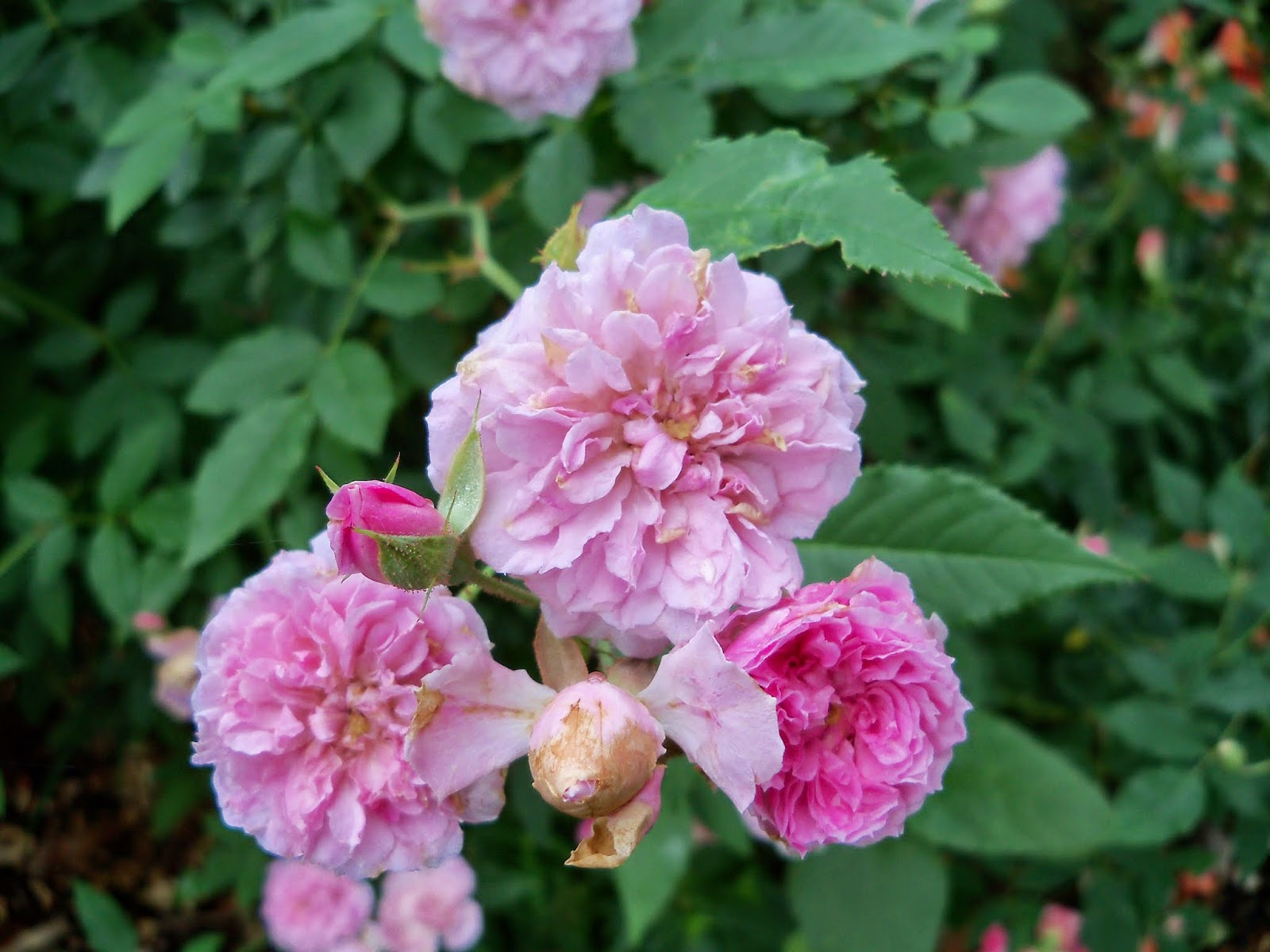Gardening 2014 - 116_1823.JPG