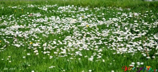 cánh đồng hoa cúc trắng