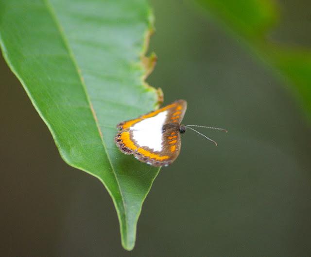 Riodinidae : Nymphidium caricae LINNAEUS, 1758, mâle. Saut Athanase (Guyane). 21 novembre 2011. Photo : J.-M. Gayman
