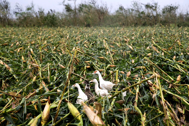 Ducks walk along a cornfield totally damaged by strong winds from Typhoon Mangkhut as it barreled across Tuguegarao city, Cagayan province, on 15 September 2018. Photo: Aaron Favila / AP Photo