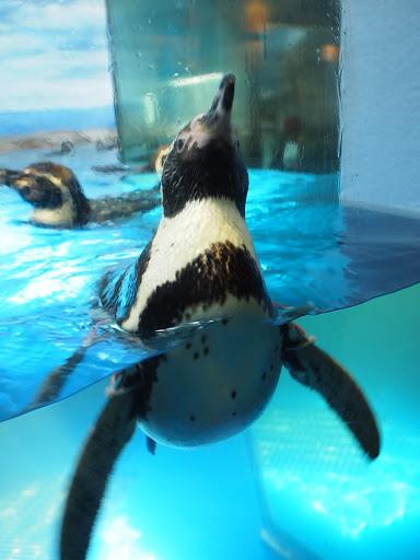 [写真]妙にアピールしてくるフンボルトペンギン