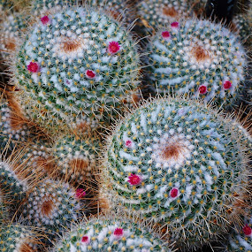 Whitey Cactus by Viana Santoni-Oliver - Nature Up Close Other plants ( plant, succulent, red, spikes, dry, desert, nature, green, white, thorns, yellow, cactus, whitey )