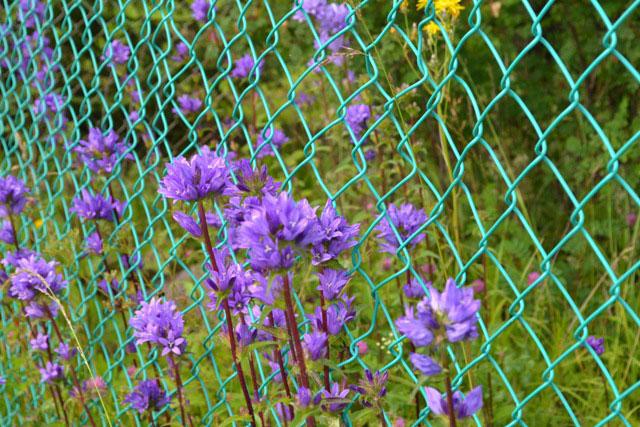 цветы_у_забора_tsvety_u_zabora