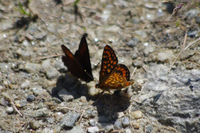 Euphydryas intermedia wolfensbergeri FREY, 1880, et (?) Erebia ligea (L., 1758), mâle. Alp da Segl, Val Fex, 2100 m (Engadine, Grisons, CH). 14 juillet 2013. Photo : J.-M. Gayman