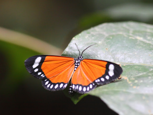 Geometridae : Sterrhinae : Aletis erici KIRBY, 1896. Parc National de Korup (Cameroun), 2 mars 2012. Photo : Timothy Boucher