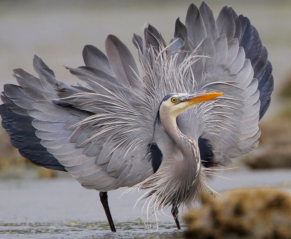 [Great_Blue_Heron_showing_off_for_the%5B1%5D]
